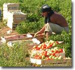 Гастарбайтеры из Узбекистана работают на полях Астраханской области почти без выходных. Фото ИА Фергана.Ру