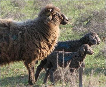 Каракулевые овцы