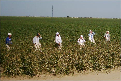Cotton field in South Kazakhstan