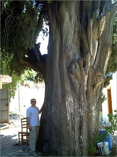 Тысячелетний кипарис в селе Узбек, Измир. Июнь 2008 г.