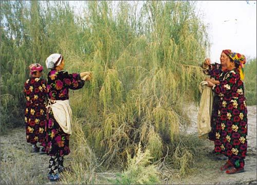 Местные женщины собирают семена