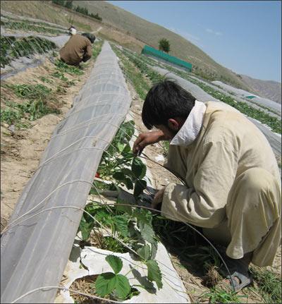 Афганцы выращивают клубнику