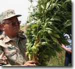 Marijuana in Kazakhstan. Not to Be Destroyed but Used
