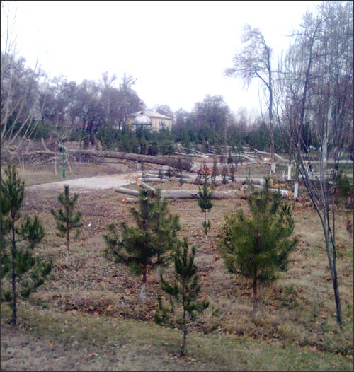 Место столетних чинар занимают елочки и сосны