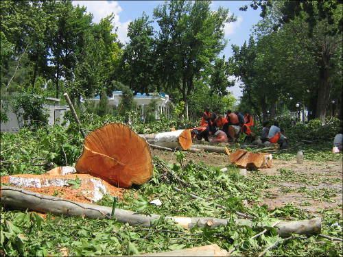 Уничтожают здоровые деревья