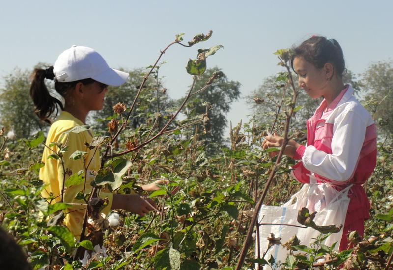 Дети Ташкентской области работают после уроков на сборе хлопка-сырца