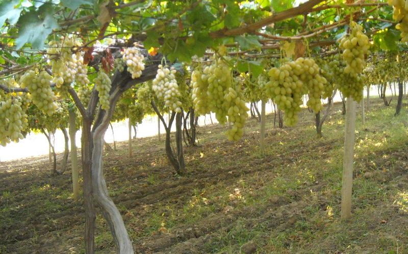 Белый виноград сорта хусайни