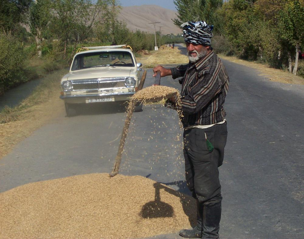 Peasant throws wheat on road and let cars drive over