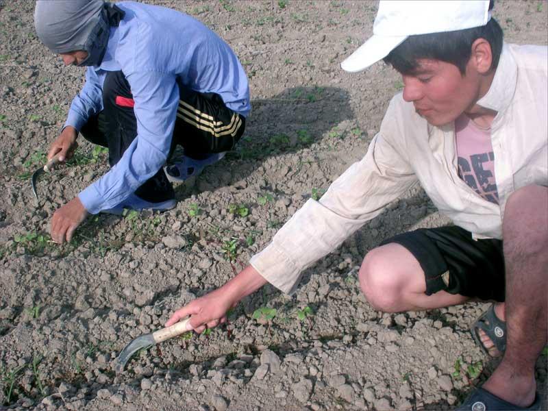 Les élèves des écoles, des lycées et des collèges en régions rurales ont passé le mois de mai à travailler sur les champs de coton. Photo d'Hélèna Ourlaeva