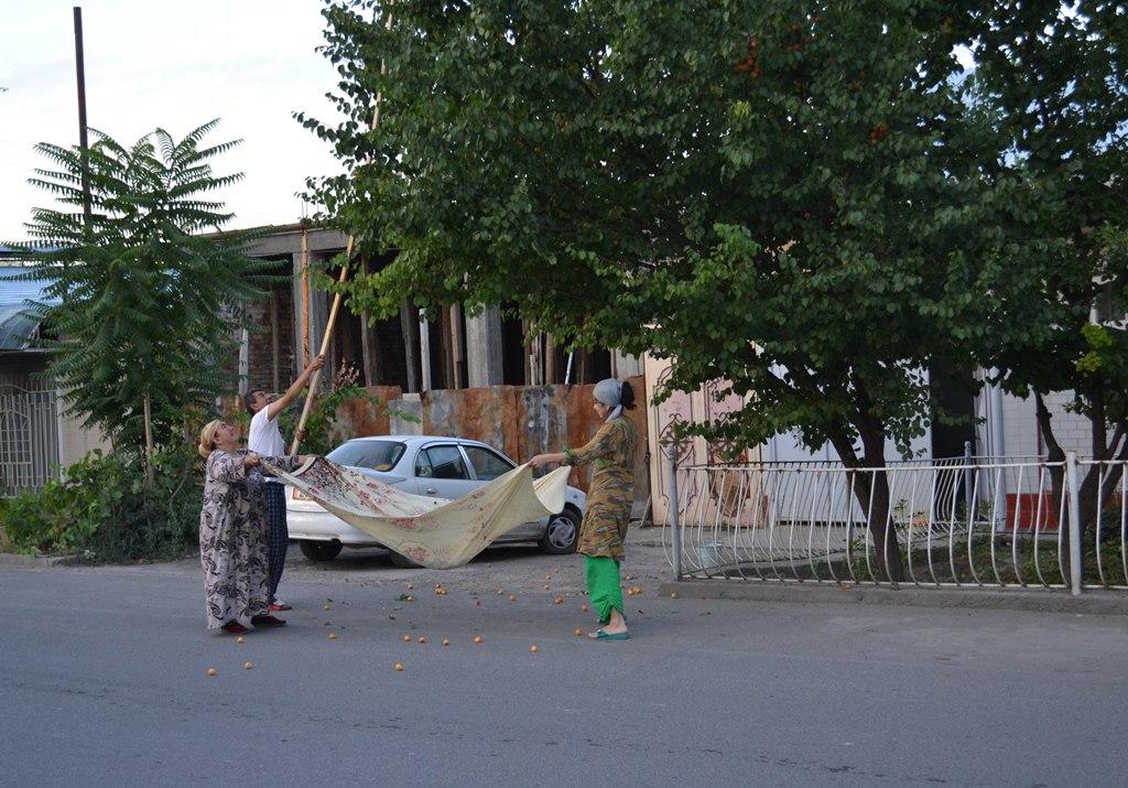 Сбор урюка на юге Кыргызстана