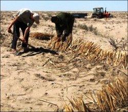 Узбекистан: Аральскую осушку засадим?