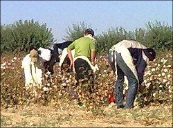 Узбекистан: Поле хлопка – поле брани