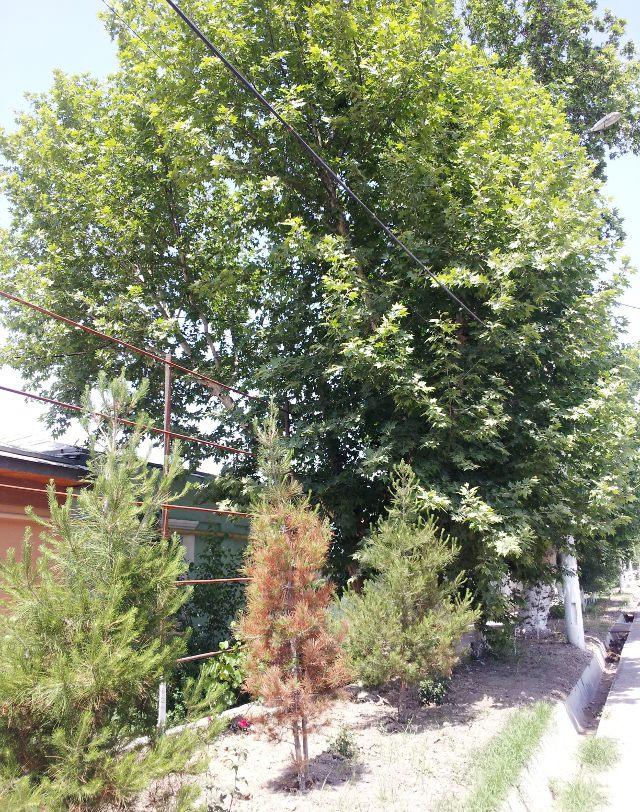 Пока елочка сохнет от жары, чинара быстро набирает рост