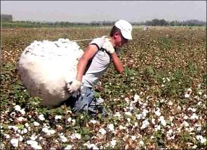 Узбекистан: Почем удовольствие вырастить хлопок? Фермеры рассказывают о взятках