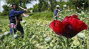 Афганистан: Площадь плантаций опиумного мака бьет рекорды