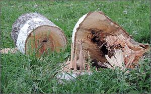Узбекистан: Первомай в Ташкенте отметили массовой вырубкой деревьев