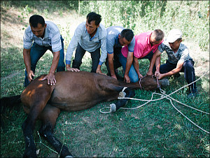 Uzbekistan: A tale of Kazakhs slaughtering a horse (images 18+)
