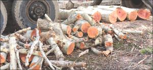 «Эра дровосеков»: В ташкентских парках продолжают уничтожать совершенно здоровые деревья