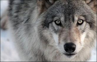 Таджикистан: С волками — жить!