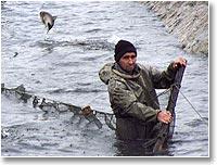 Рыба, пугаясь сетей, выпрыгивает из воды
