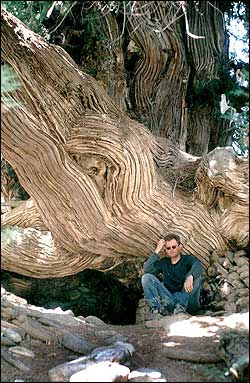 An archa (juniper) whose trunk is over 3 meters thick