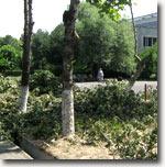 Обрезка ветвей деревьев на улицах Ташкента. Фото ИА Фергана.Ру