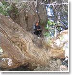 Священное дерево в кишлаке Маджрум. Его правильное название – биота восточная