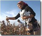 Узбекистан: Хлопка на полях почти не осталось, но бюджетников до сих пор отправляют на его сбор