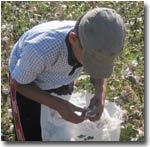 Узбекистан: Школьники Ташкентской области не учатся, а работают в поле (фото)