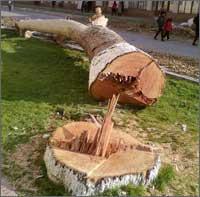 Узбекистан: Генеральная реконструкция Коканда обернулась тотальным уничтожением чинар (фото)
