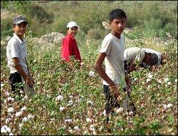 Узбекистан, «Вести с полей»: На хлопке трудятся дети, учителя, врачи, музыканты и милиционеры (фото)