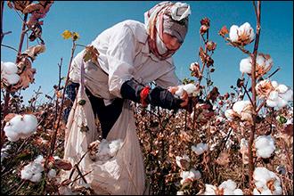 HRW и УГФ: Всемирный банк должен добиться от Узбекистана отказа от хлопкового рабства